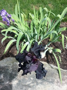 I don't know where my black irises come from, but I love them.